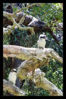 Kookaburras by RaineyJ