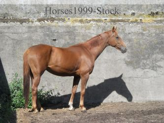 standing horse - Zada by Horses1999-Stock