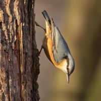Nuthatch III by starykocur