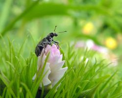 Bug on a Dianthus Bud - Weevil by JocelyneR