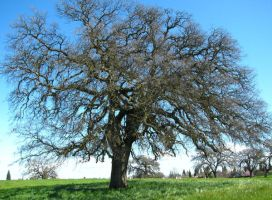 Old Oak Trees at the Park by Earthmagic