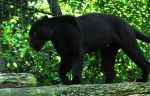 Black Jaguar by Shadow-and-Flame-86