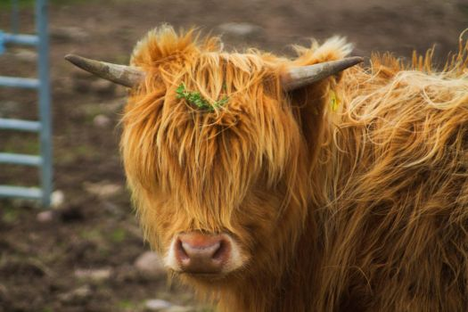 Highland Cattle by CaptainAndyThePirate