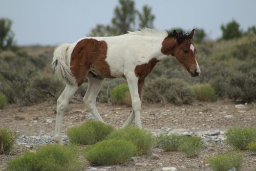 Bay Paint Foal by thetriggeredhipster