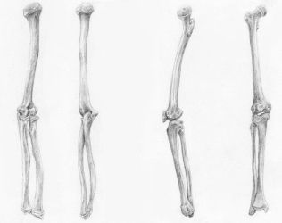 Bones of Arms and Legs by arvalis