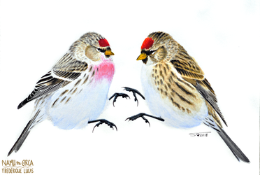 Redpolls by namu-the-orca