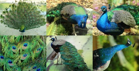 Peacocks Print Set by The-SixthLeafClover