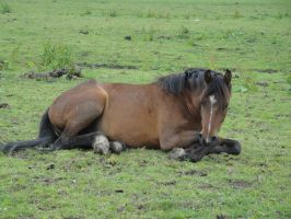 Lying bay pony in Pasture by Horselover60-Stock