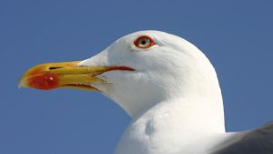 Seagull - portrait by UdoChristmann