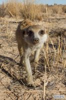 Nose of the meerkat by jaffa-tamarin