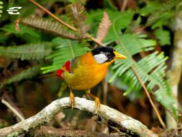 Silver-eared Mesia by jitspics