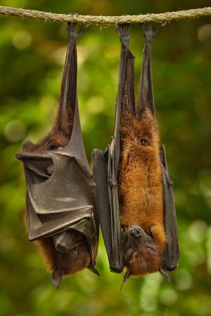 Flying Fox 04 by NellyGraceNG