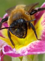 Bee Pink by Iris-cup