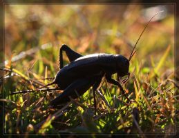 Cricket 40D0031753 by Cristian-M