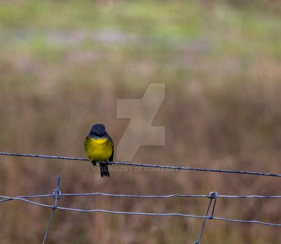 Yellow Breasted Robin by Violinscry