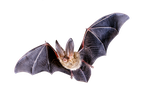bat png by camelfobia
