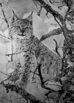 Young european lynx by BeckyKidus
