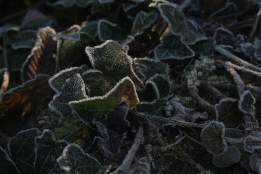 Frosty Clustered Ivy by BiomechanicTitan