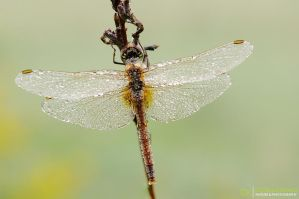 Dragonfly - DK4 by Stefano-Coltelli