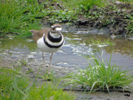 Wetland Killdeer by wolfwings1