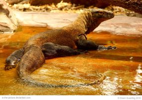 Wet Komodo by In-the-picture