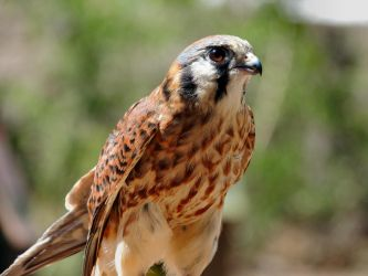 American Kestrel by amorphousdebris