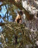 American marten in fir tree 5 by themanitou