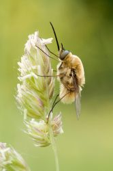 12. Bombylius sp. by Kaasik91