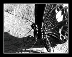 butterfly in black white 1 by chinlop