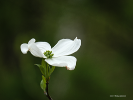 Dogwood One by Mogrianne