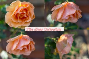 The Rose Collection by THEAESTHETICWEEB