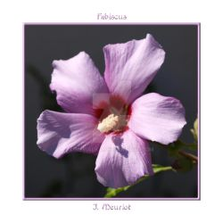 Hibiscus by Nerialka