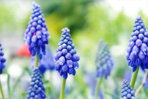 blueperls of april by hv1234