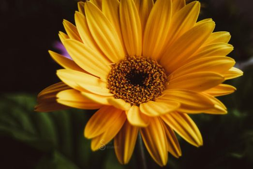 Yellow daisy by SilvieTepes