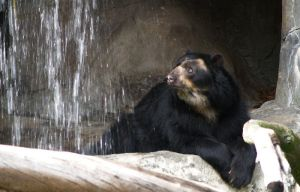 Spectacled Bear by lantairvlea