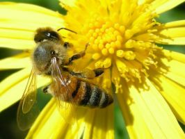 Bee and Flower 3 by mnjul