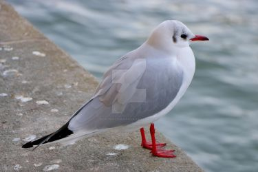 Black-Headed Gull by the Seine river, Paris by LPCPhotography