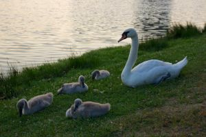 Mother Swan with kids by Sweny