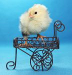 Carriage Chick by Innocentium