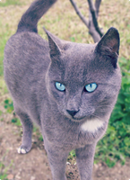 The Blue-Eyed Cat 2 by sezind