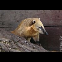 Animals 92  Ring-tailed Coati by cinnabarr