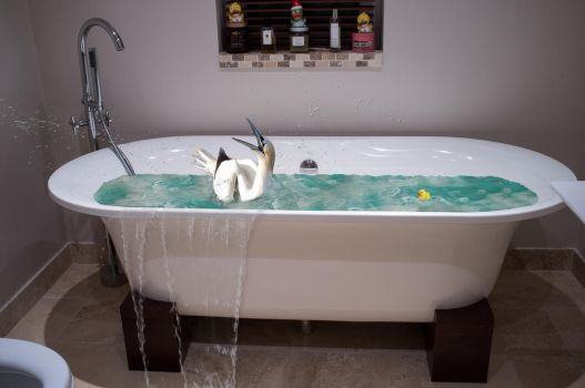 Oh no. There's a gannet in my bath..... by colfrankland