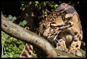 Clouded Leopard 01 by Alannah-Hawker