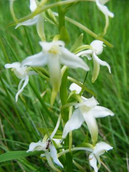 Platanthera bifolia by Lepidodendron
