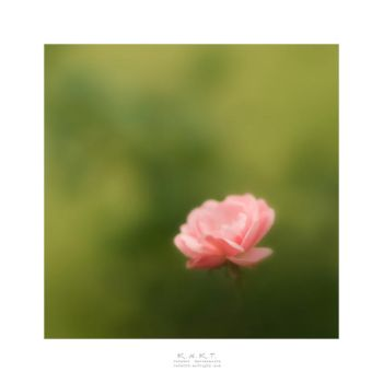 +++ Rose +++ by KNKT
