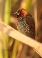 Scaly Breasted Munia by himphotography