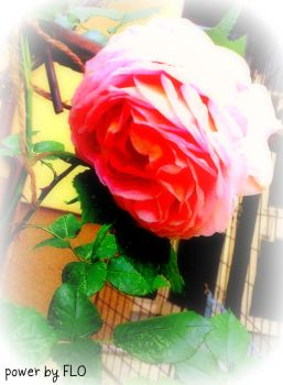 urban rose by ju5tfstyle