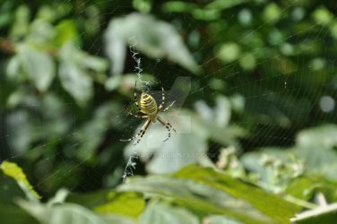Yellow and Black Spider by Olrac87