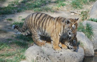 Twin Siberians Tigers Cubs by NicamShilova