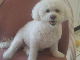 Bichon by Kind-Hearted